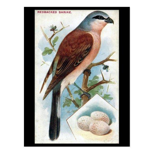Old Postcard - Redbacked Shrike