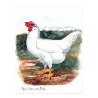 Old Postcard - Whire Leghorn Hen