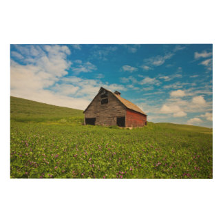 Old, red barn in field of chickpeas wood wall art