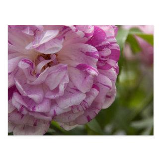 old rose postcard