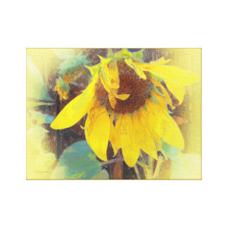 Old Sunflower Bowing Gallery Wrapped Canvas