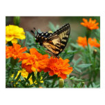 Old World Swallowtail Butterfly Papilio Machaon Postcards