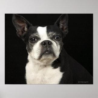 Older Bosten Terrier on black background Print