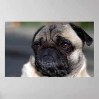 Older Pug Contemplating Life Poster