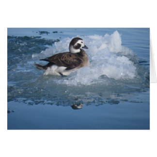 Oldsquaw Long tailed Duck on ice in the Ocean Cards