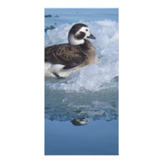 Oldsquaw Long tailed Duck on ice in the Ocean Photo Card