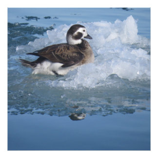 Oldsquaw Long tailed Duck on ice in the Ocean Photo Art