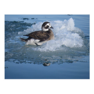 Oldsquaw Long tailed Duck on ice in the Ocean Postcard