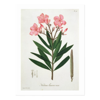 Oleander from 'Phytographie Medicale' by Joseph Ro Postcard