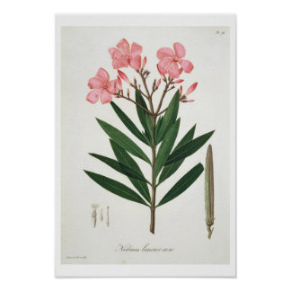 Oleander from 'Phytographie Medicale' by Joseph Ro Poster