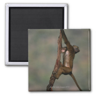 Olive baboon (Papio anubis) climbing on branch, Magnet