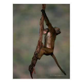 Olive baboon (Papio anubis) climbing on branch, Postcard