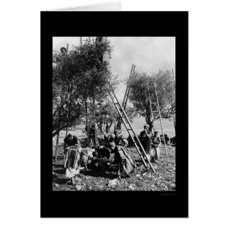Olive Harvest Palestine 1886 Greeting Card