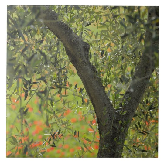 Olive Tree, Castiglione d'Orcia, Siena Province, Large Square Tile