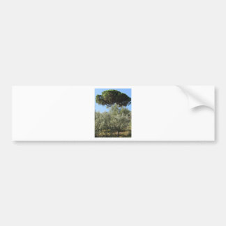 Olive trees with pine tree as background bumper sticker