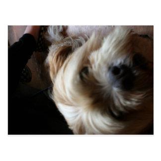 Ollie dog lhasa apso head upside down surprise postcard