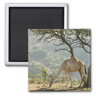 Oman, Dhofar Region, Salalah. Camel in the Magnet