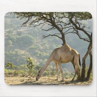 Oman, Dhofar Region, Salalah. Camel in the Mouse Pad