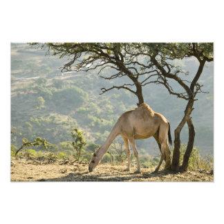 Oman, Dhofar Region, Salalah. Camel in the Photo Art