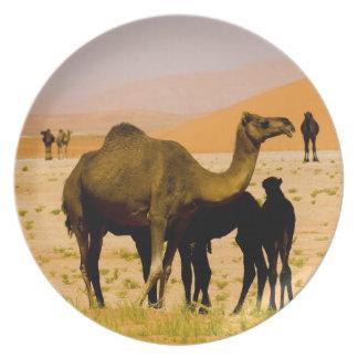 Oman, Rub Al Khali desert, camels (dromedaries), Plate