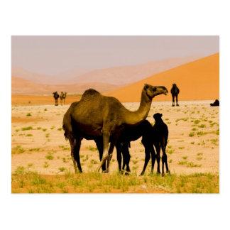 Oman, Rub Al Khali desert, camels (dromedaries), Postcard
