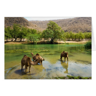 Oman, Wadi darbat, dromedaries pasturing in the Card