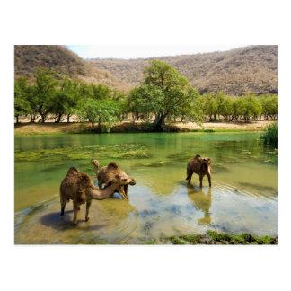 Oman, Wadi darbat, dromedaries pasturing in the Postcard