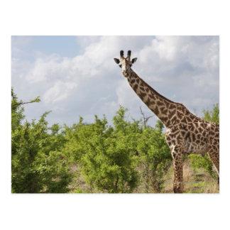 On safari in Tanzania Africa 2 Postcards