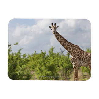 On safari in Tanzania, Africa. 2 Rectangular Photo Magnet