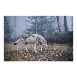 On the Prowl Timber Wolf Poster