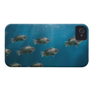 One black sea bass leading a school iPhone 4 Case-Mate case