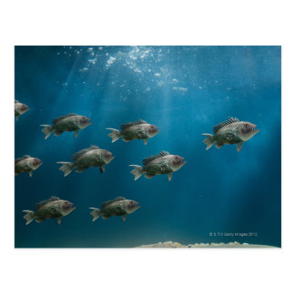 One black sea bass leading a school post cards