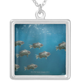 One black sea bass leading a school silver plated necklace