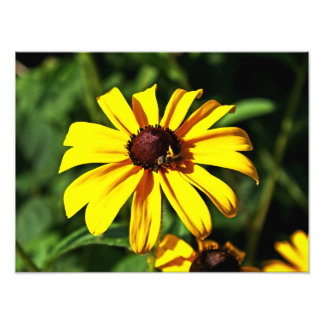 One Bright Yellow Black-Eyed Susan Flower with Bee Photograph