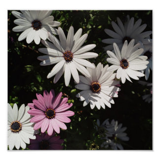 One lone pink daisy poster