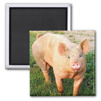 One Pig Magnet