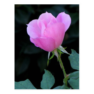 One Pink Rosebud Postcard