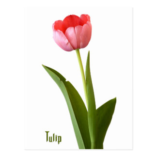 One Pink Spring Tulip Nature Floral Photo Postcard