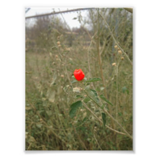 One Red Flower Print Photographic Print