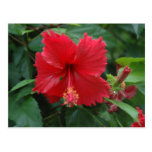 One red hibiscus postcards