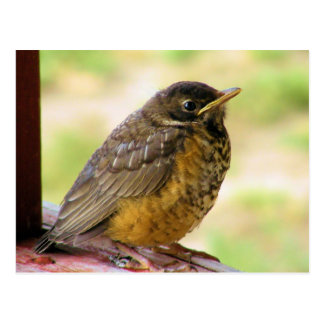 One Week Old Robin On a Perch Postcard