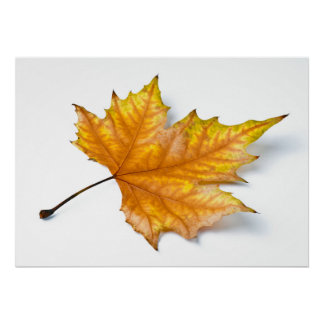 One yellow and gold maple leaf poster