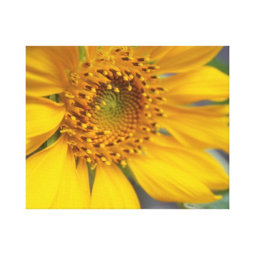 Open Sunflower Stretched Canvas Prints