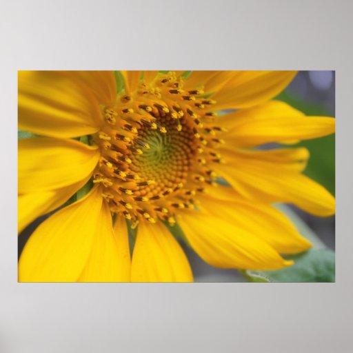 Open Sunflower Print