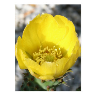 Opuntia Ficus-Indica Prickly Pear Flower Post Cards