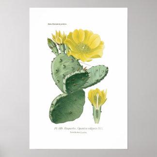 Opuntia vulgaris poster