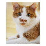 orange and white cat looking at camera poster
