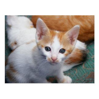 Orange and White Kitten Postcard
