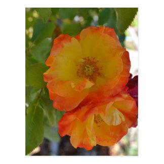 Orange and Yellow Autumn Roses Postcard