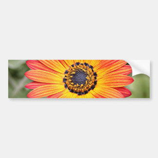 Orange and Yellow Gazania Flowers in bloom Bumper Sticker